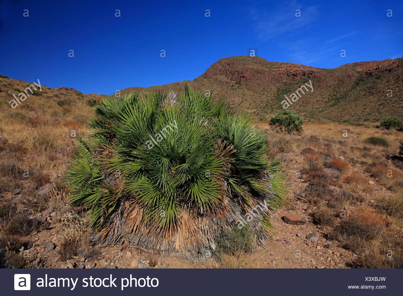 Mittelmeer Fan Farn (Chamaerops Humilis), im Natur Park Cabo de Gata, Spanien, Almeria, Cabo De Gata Stockbild