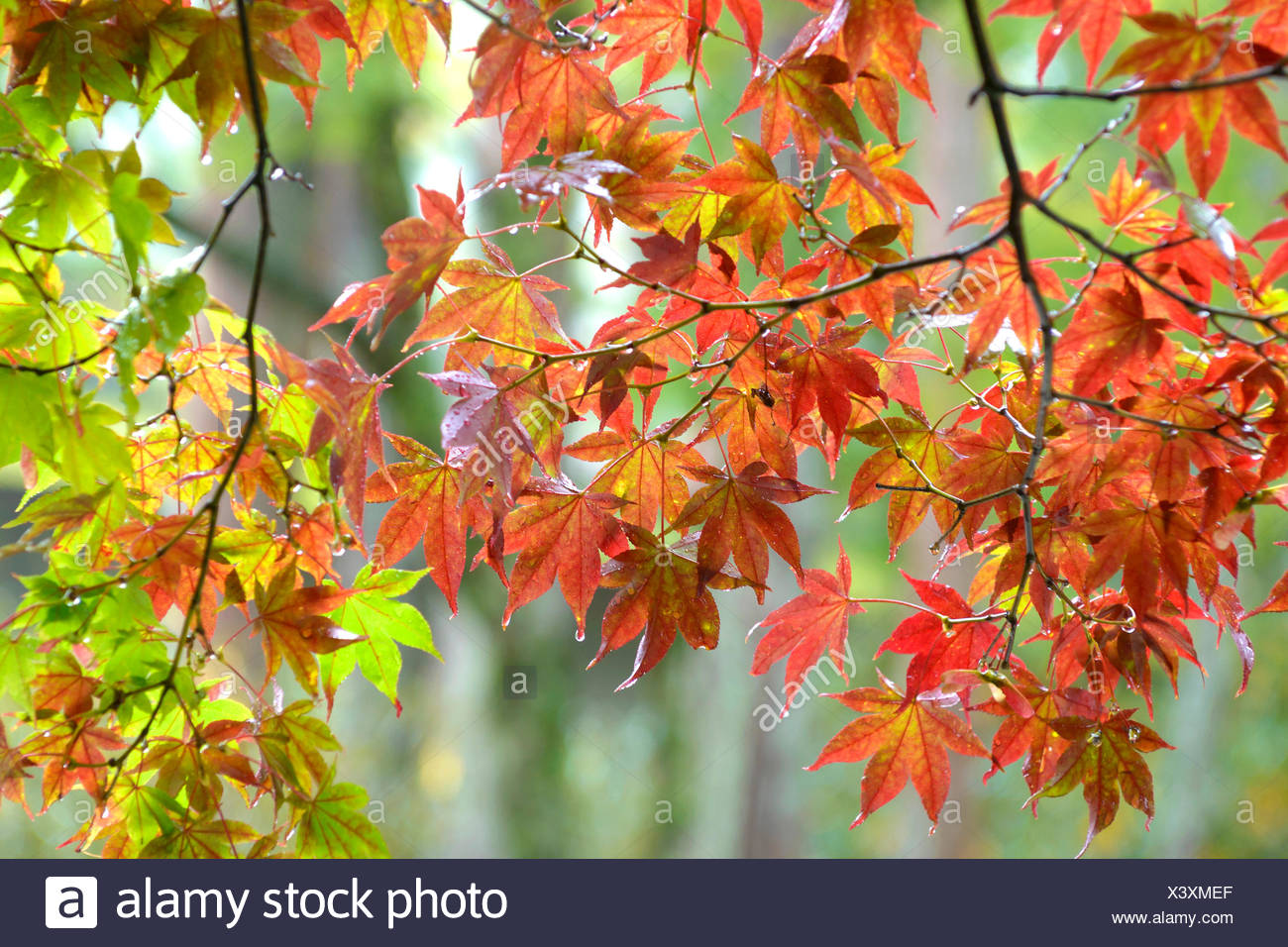 Japanischer Ahorn (Acer Palmatum), Niederlassung in Hintergrundbeleuchtung, Japan Honshu Stockbild