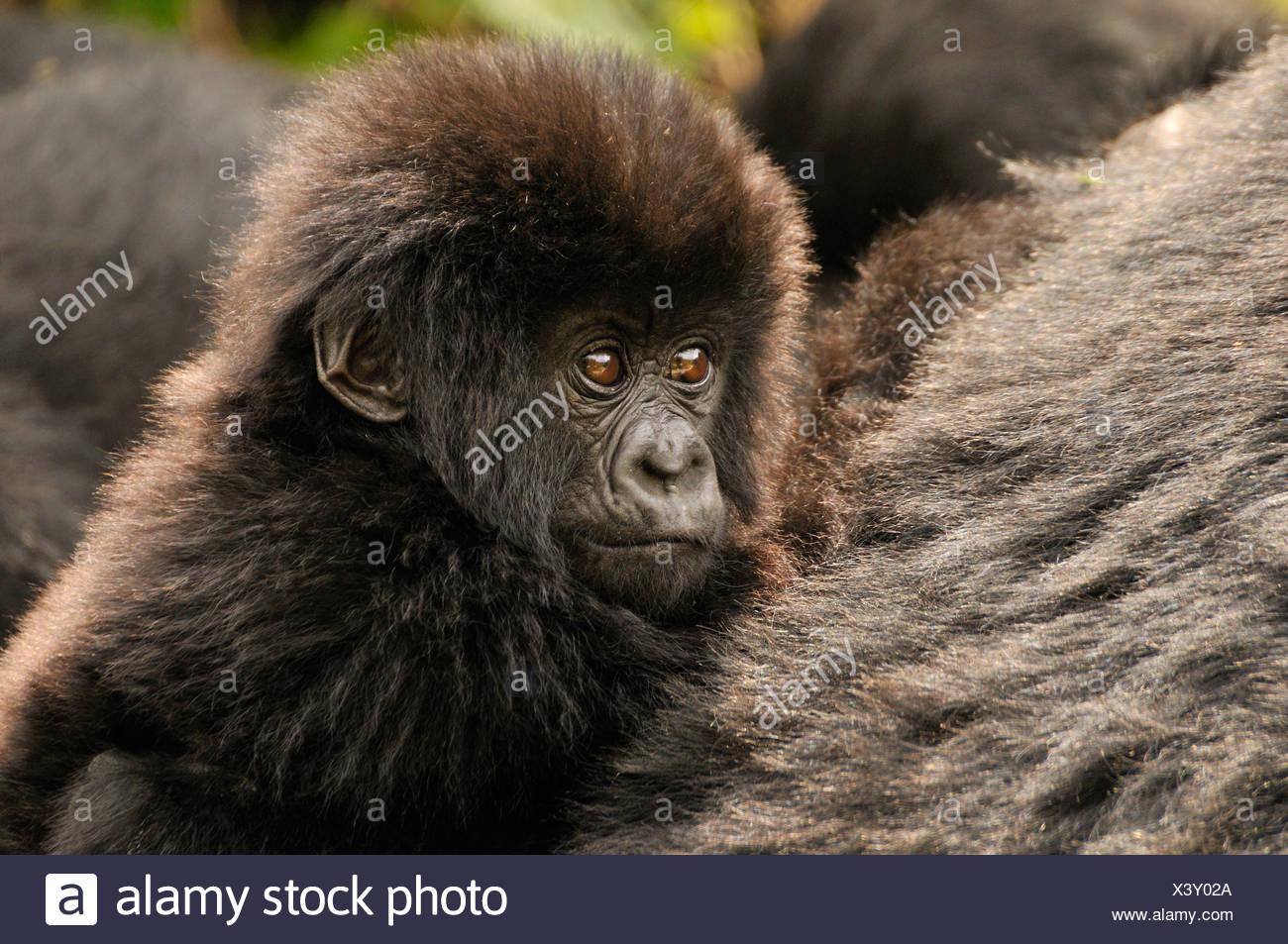 Baby-Berggorillas (Gorilla Beringei Beringei) aus der Hirwa-Gruppe am Fuße des Vulkans Gahinga Stockbild