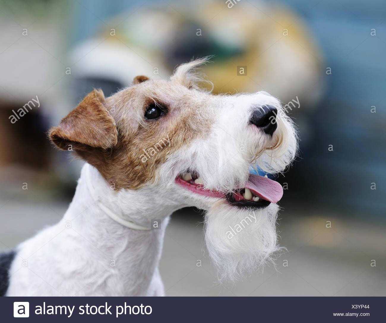 Pedigree Fox Terrier Stockfotos & Pedigree Fox Terrier Bilder - Alamy