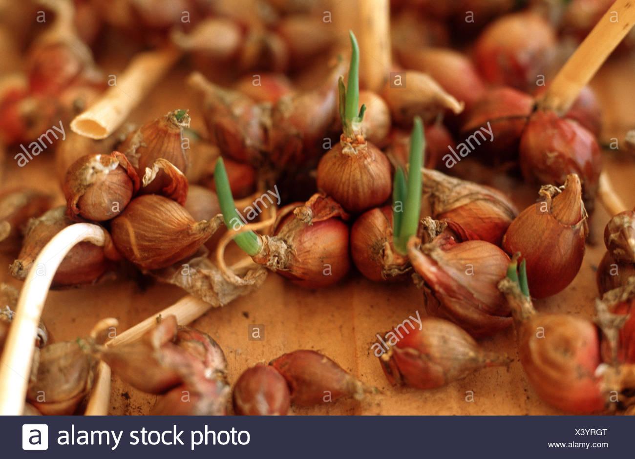 Kartoffel-Zwiebel (Allium Cepa var. Proliferum, Allium Cepa Proliferum), sprießen Lampen Stockbild
