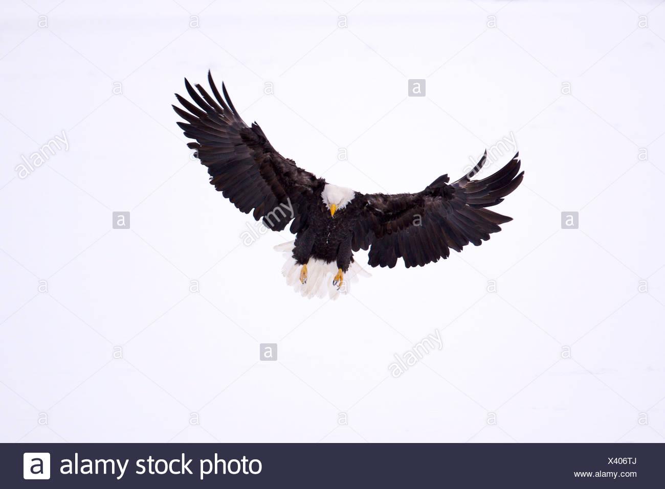 USA, Alaska Chilkat Bald Eagle zu bewahren, Weißkopf-Seeadler (Haliaeetus Leucocephalus) Stockbild