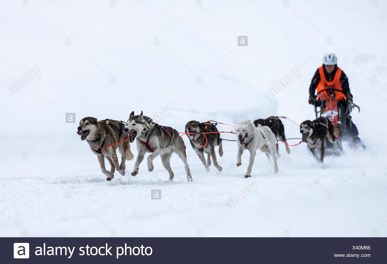 Schlitten-Hund-Team auf Schnee, Huskies, Schlitten Hund Rasse, Unterjoch, Allgäu, Bayern, Deutschland Stockbild