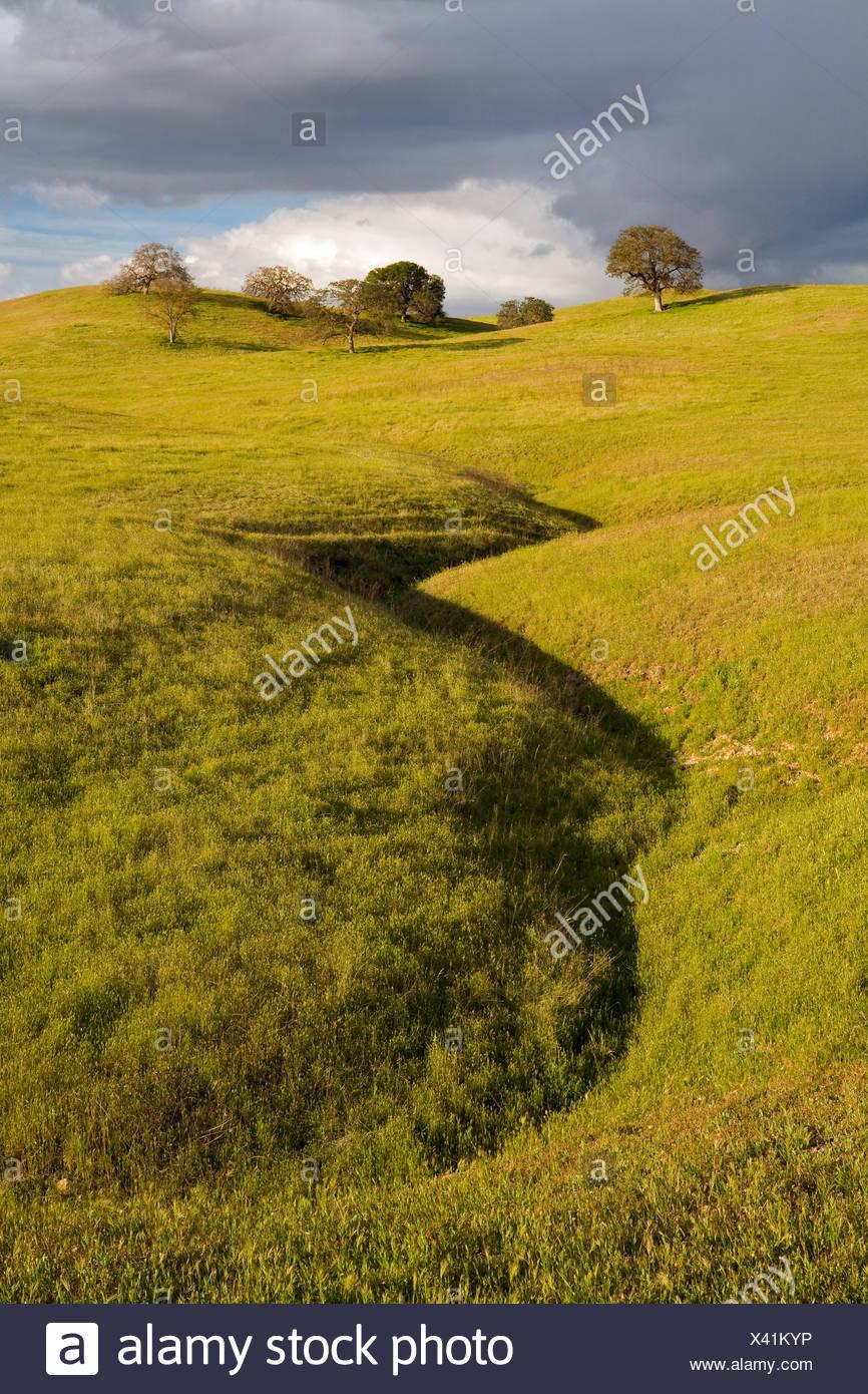 USA, Vereinigte Staaten, Amerika, Gruppenhaltung, Gras, Weide, Weiden, Eiche, Offen, Wild, CA, California, Kalifornien, Stockbild