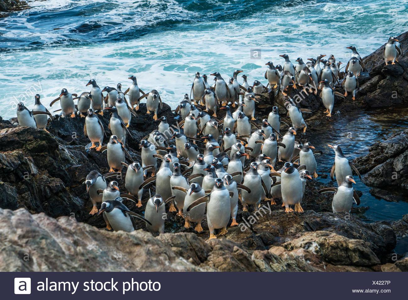 Viele Pinguine watschelte auf einem Felsvorsprung. Stockbild
