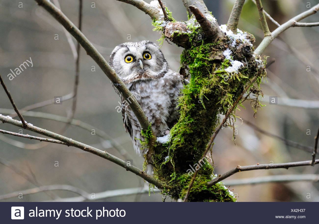 Aegolius Funereus, Eule, Eulen, Greifvögel, Raptor, Raubvogel, Käuzchen, Eulen, Nacht Vogel, boreal Eule, Vogel, Vögel Stockbild