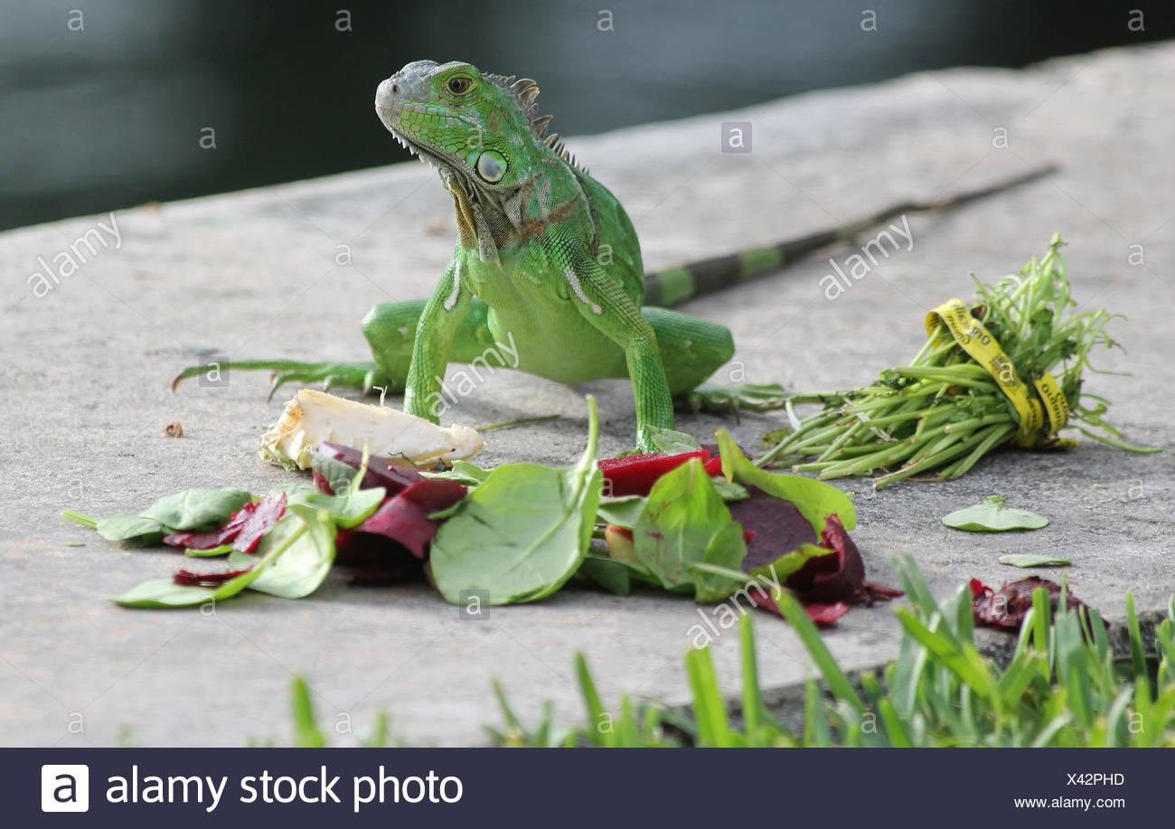 Chameleon Stockbild