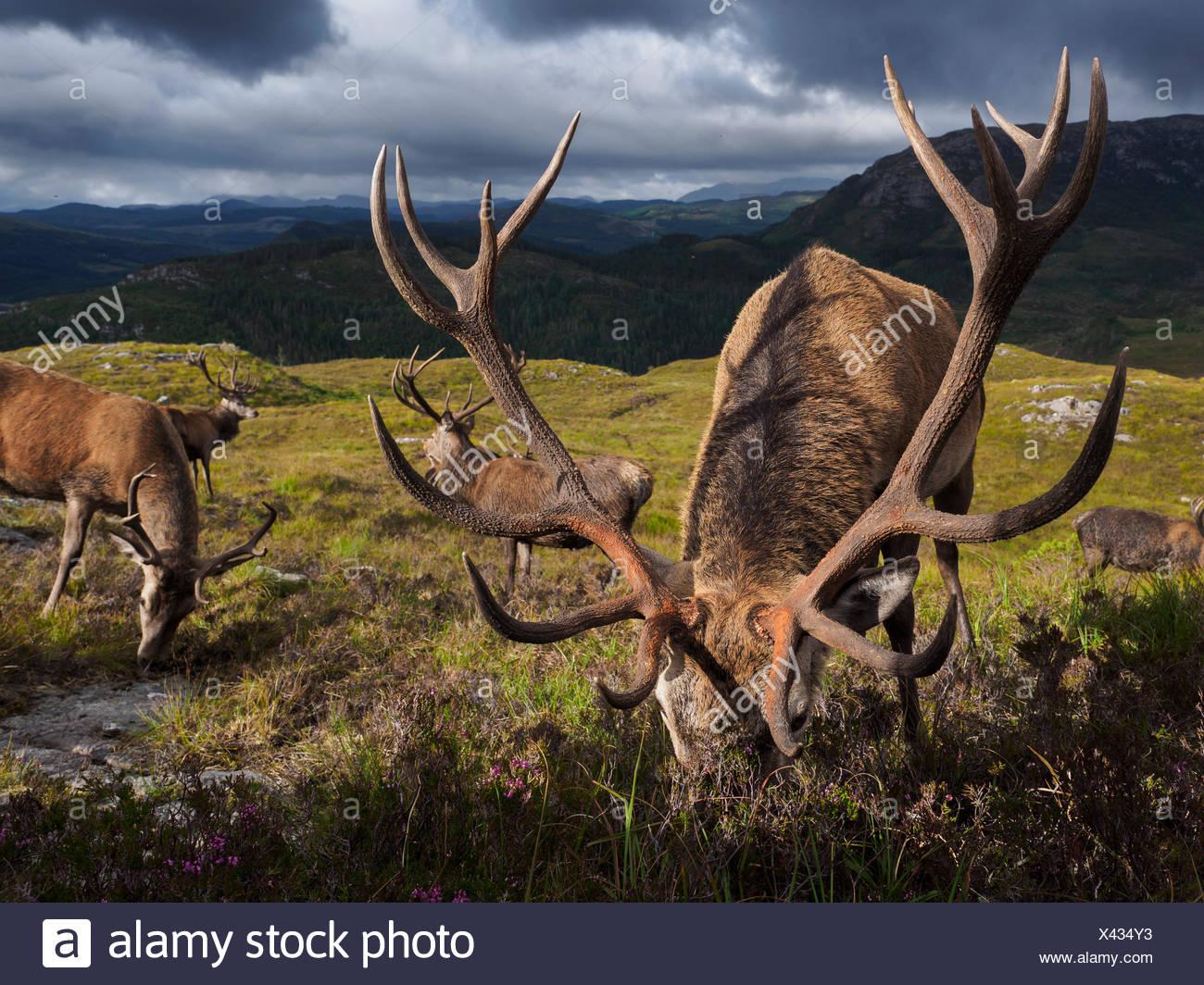 Die Hirsche Bevölkerung Reraig Wald sind durch Wildhüter zu geweih Wachstum geführt. Stockbild