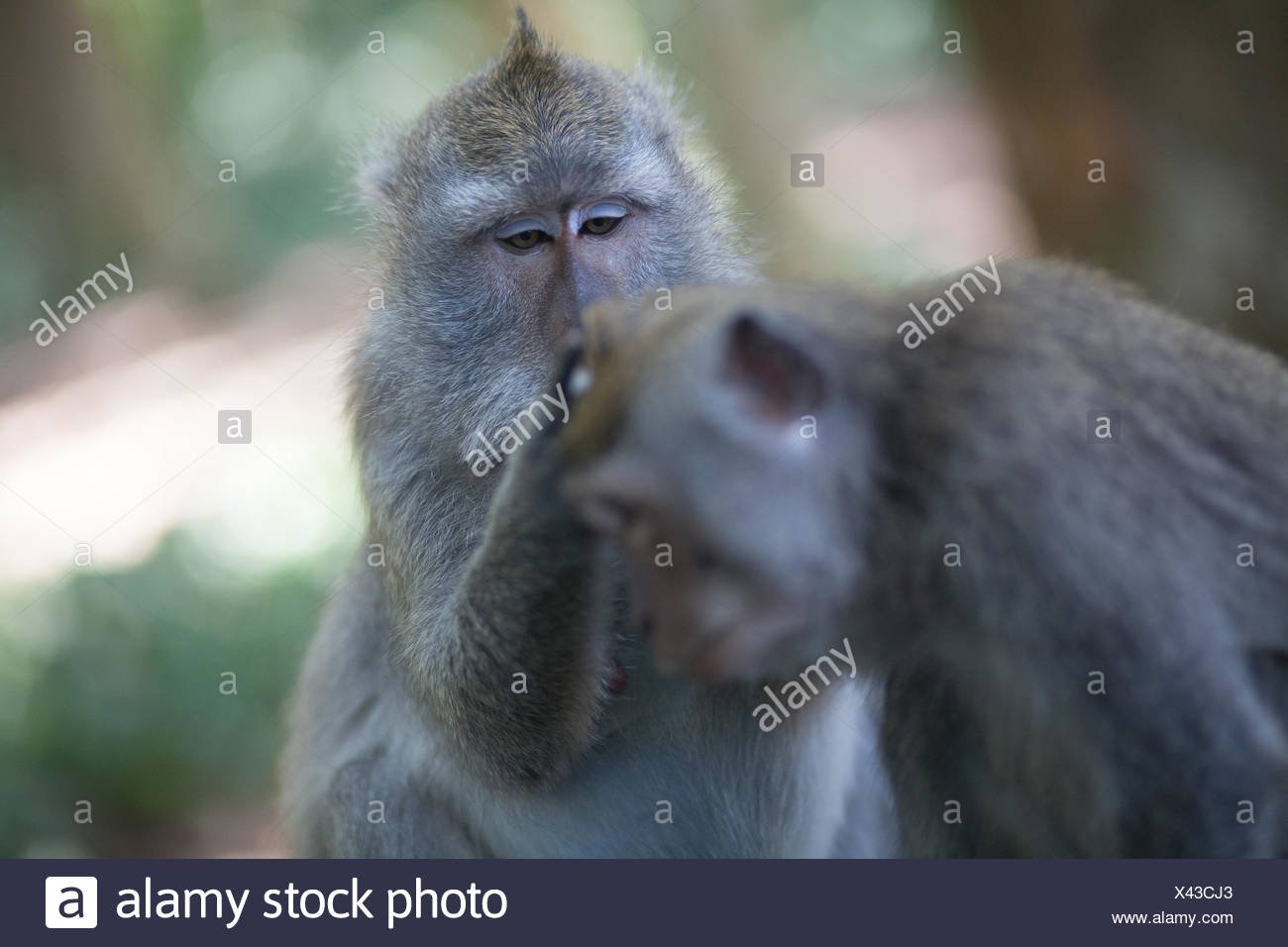 Monkey Grooming Stockfotos & Monkey Grooming Bilder Alamy