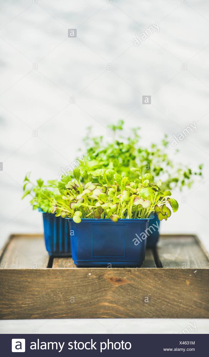 Frische Frühlingsluft grüne live Rettich Kresse keimt in Kunststofftöpfen auf Holzkiste über weißem Marmor Hintergrund Stockbild