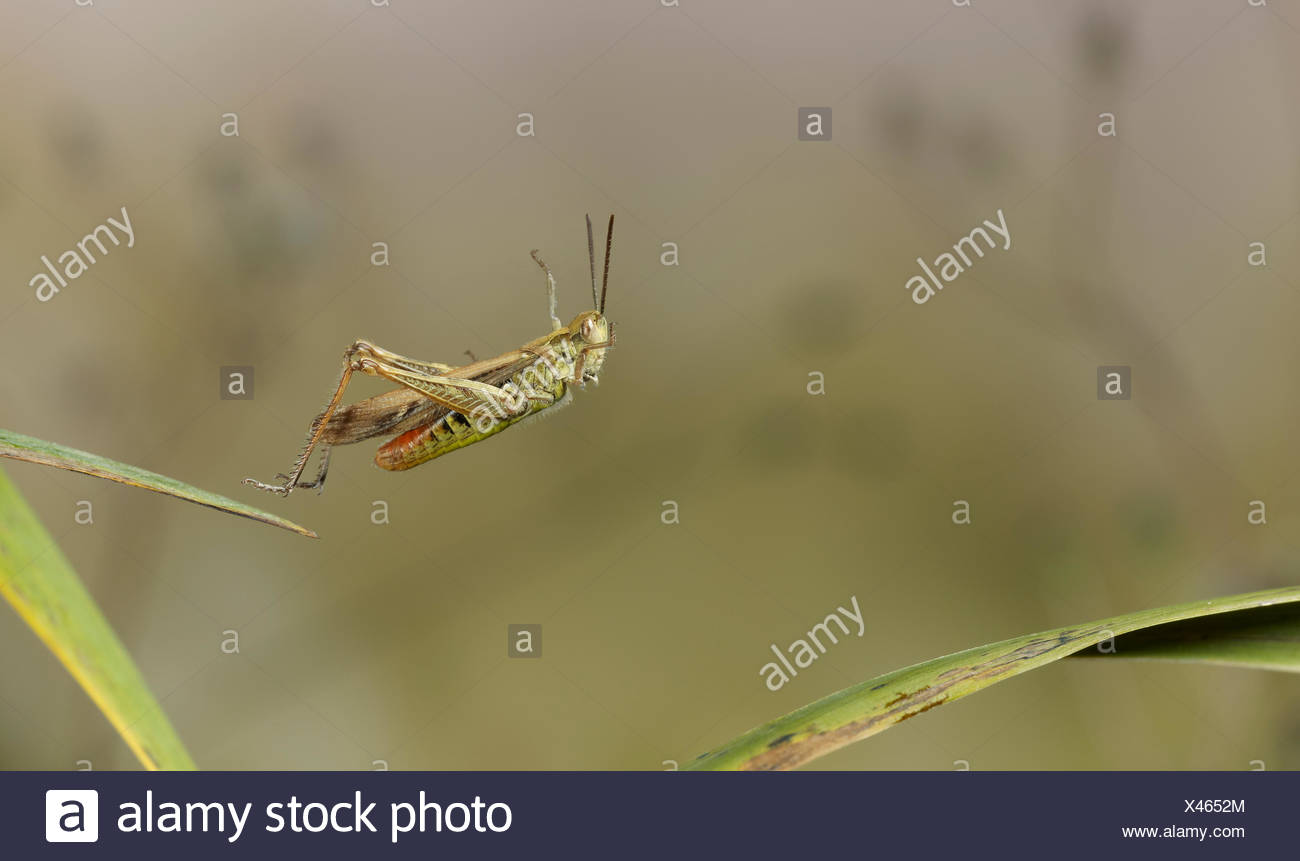 Gemeinsamen Feld-Grashüpfer (Chorthippus Brunneus) springen, Sussex, England Stockbild