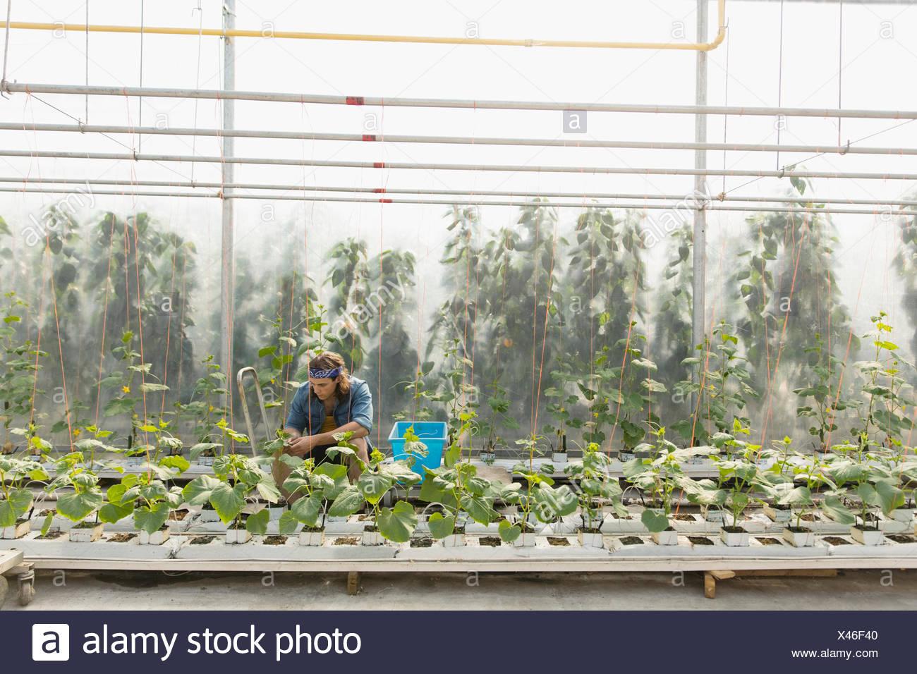 Mann Beschneidung Gemuse Pflanzen Im Gewachshaus Stockfoto Bild