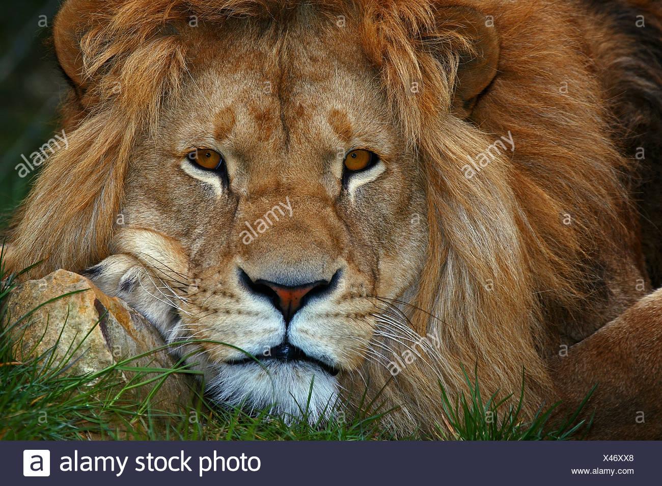 Porträt eines Löwen Stockbild