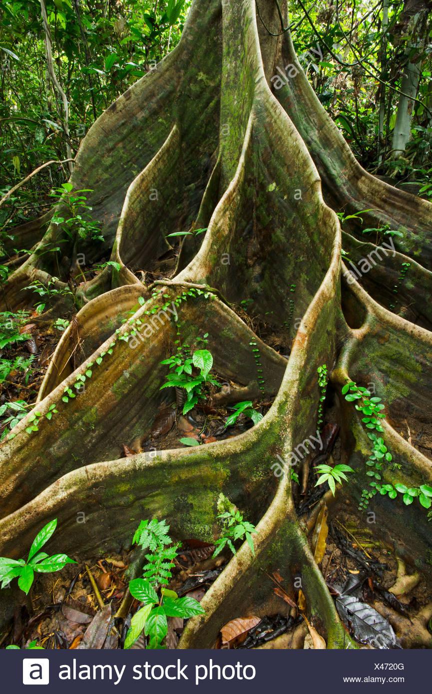 Wurzeln der Shorea SP im Tieflandregenwald Dipterocarp zu stützen. Danum Valley, Sabah, Borneo. Stockbild