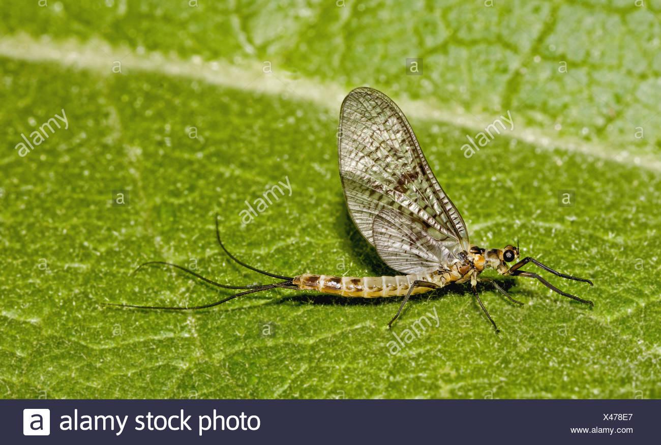 Mayfly Ephemera danica Stockbild