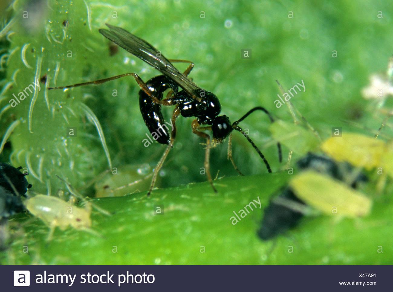 Parasitoiden Wasp (Aphidius ervi) Eier, ovipositing, Orang-utan-Hosts Stockbild