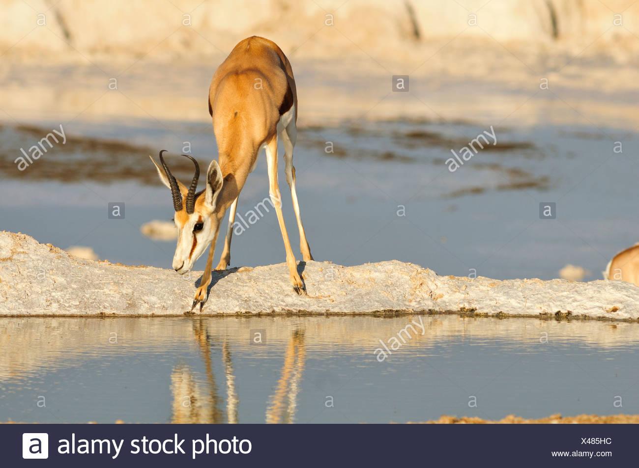 Afrika, Etosha Nationalpark, Namibia, Afrika, Tier, Antilope, Tier, trinken, Horizontal, Ebenen, Reflexion, Safari, Sav Stockbild