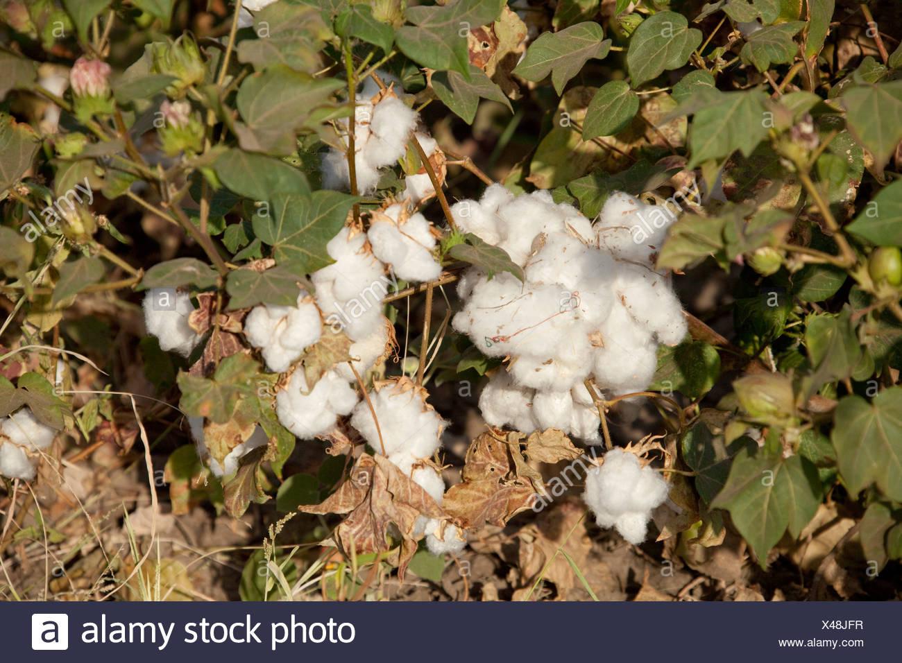 Baumwolle, Ernte, Ernte, Afrika, Landwirtschaft, Äthiopien, Stockfoto