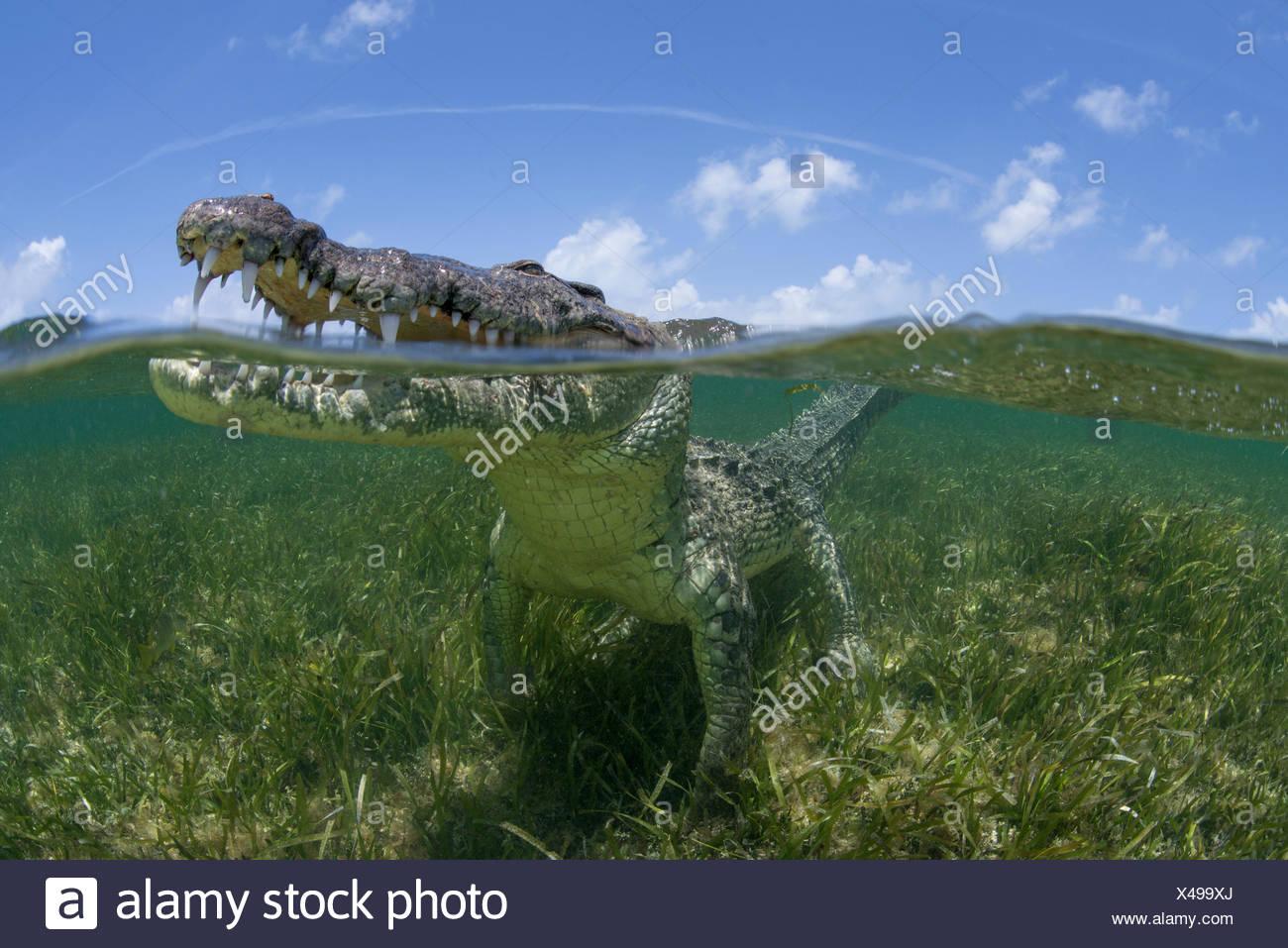 Amerikanisches Krokodil mit Blick vom seichten Wassern von Chinchorro-Atoll-Biosphären-Reservat, Quintana Roo, Mexiko Stockbild
