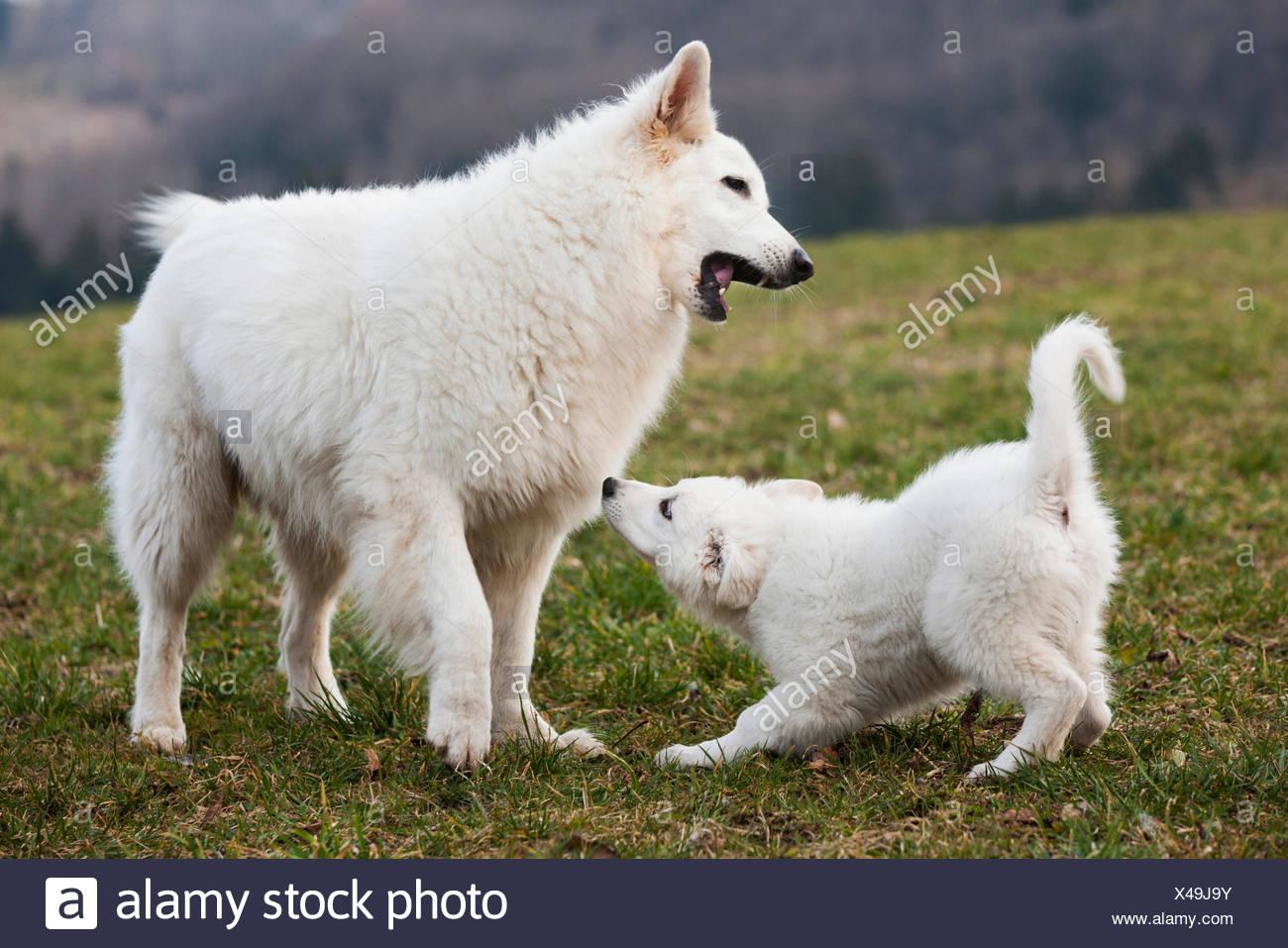 Weisse Schaferhunde Welpen Und Mannlich Spielen Osterreich Stockfotografie Alamy