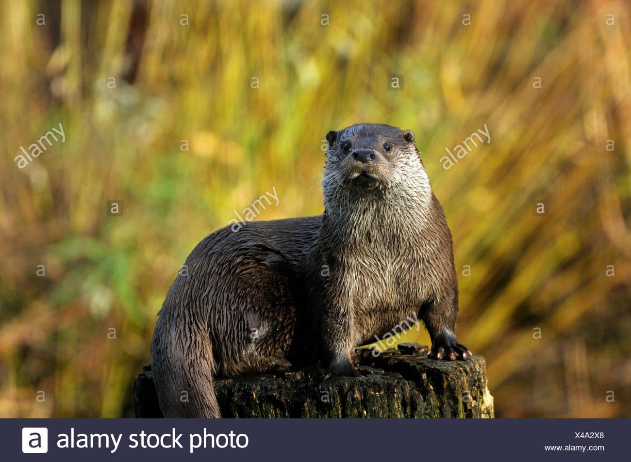 Fischotter Lutra Lutra hairy-nosed Otter Mustelidae Martens Raubtiere Caniden Otter Wasser Predator Fisch Marder Tier Tiere Keim Stockbild