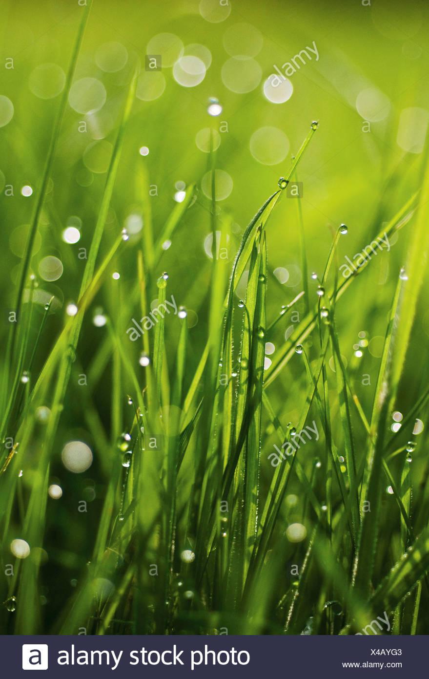 Grass hautnah ebenerdig mit Wassertropfen auf den grünen Blättern. Stockbild