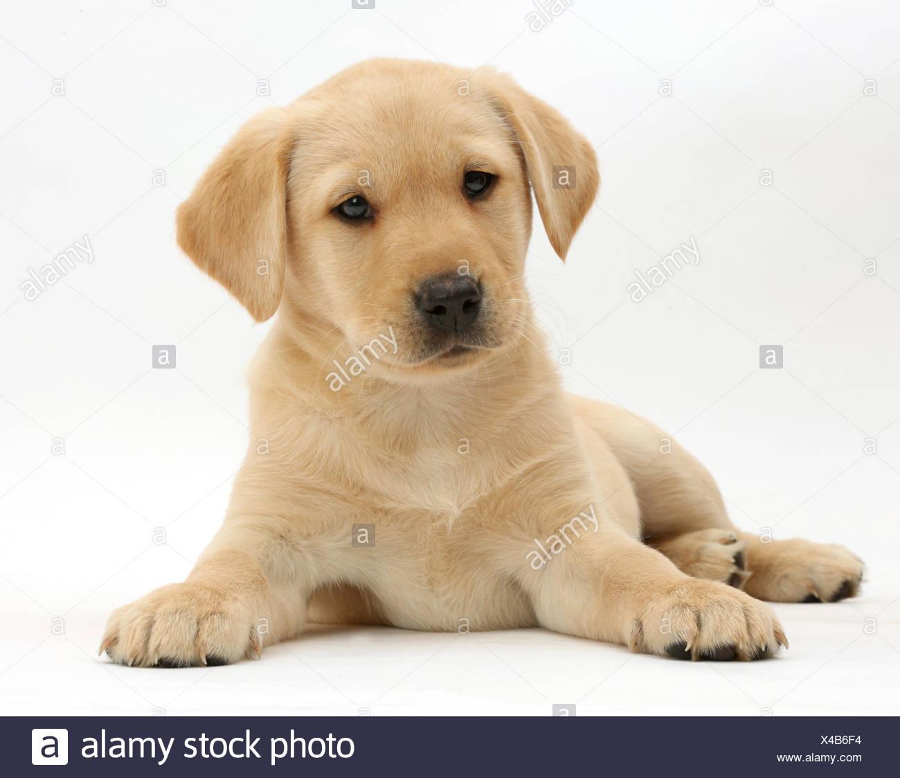Gelben Labrador Retriever Welpen Alter 9 Wochen Liegen Mit Dem Kopf Nach Oben Stockfotografie Alamy
