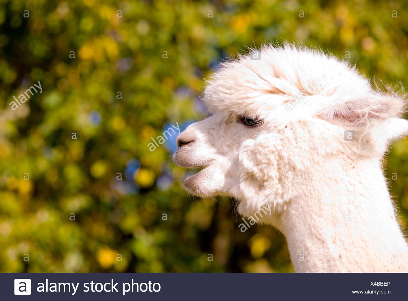 exotische Tiere Wolle Stockbild