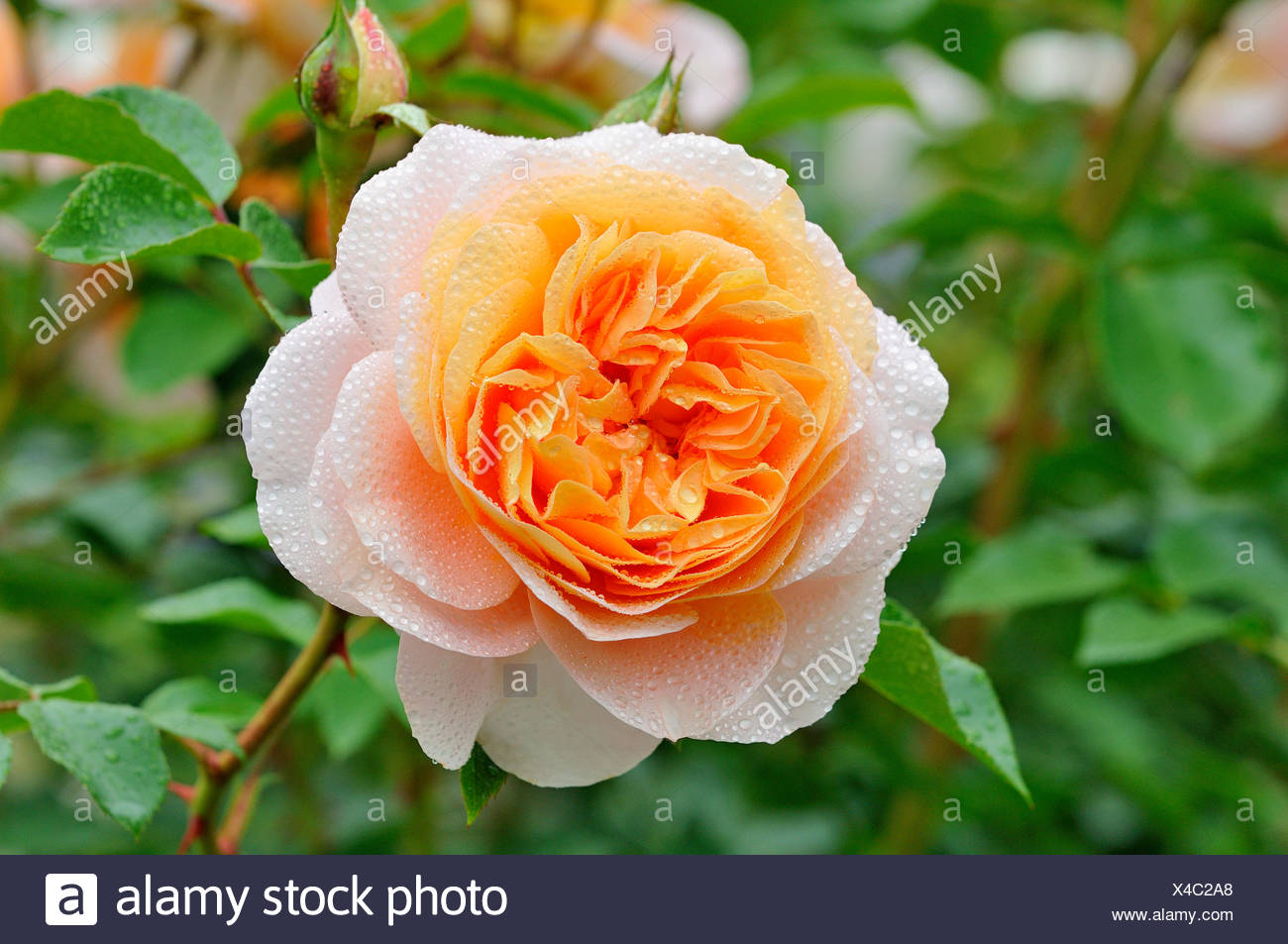 Apricot Coloured Rose Stockfotos Apricot Coloured Rose Bilder Alamy