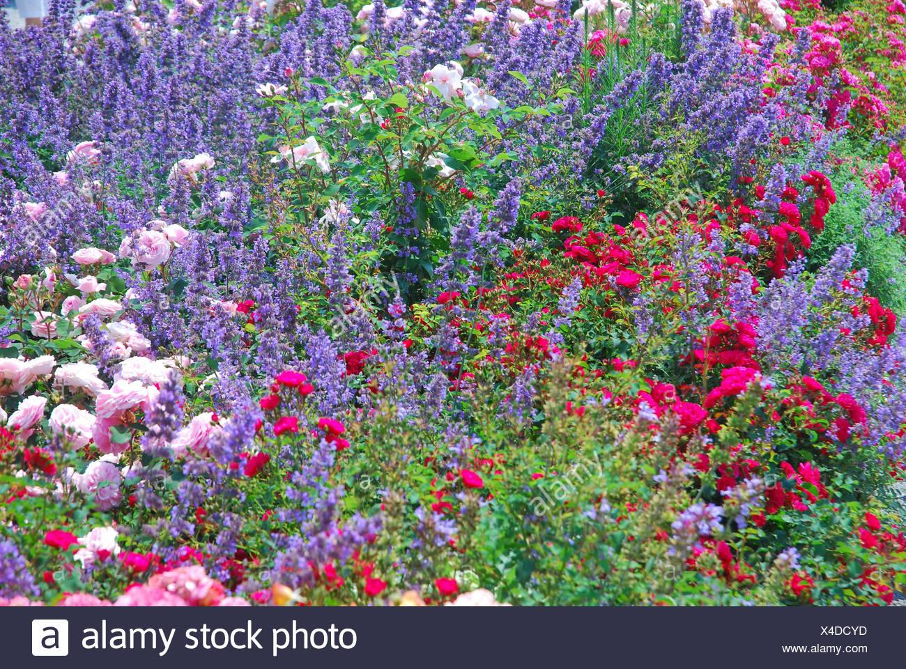 Geliebte Sommergarten, Blumenbeet, Rosen, Lavendel Stockfoto, Bild #MI_37