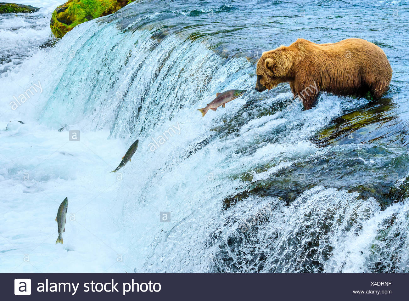 Braunbär, Ursus arctos, Angeln für sockeye Lachse an den Bächen fällt. Stockfoto