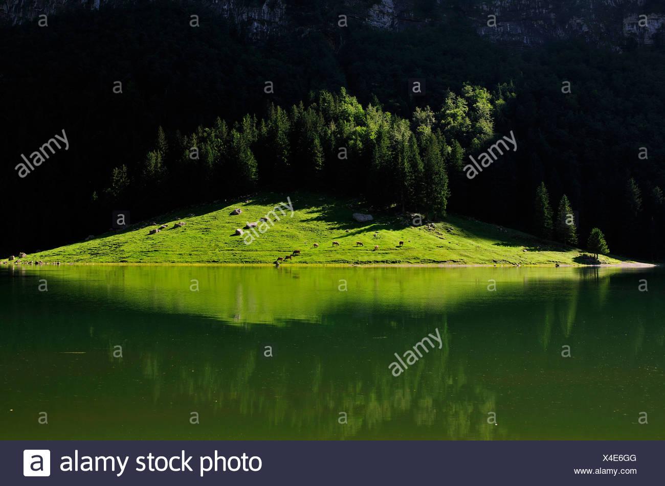 Alp mit Kühen am Seealpsee See, Alpstein Palette, Kanton Appenzell, Schweiz, Europa Stockbild