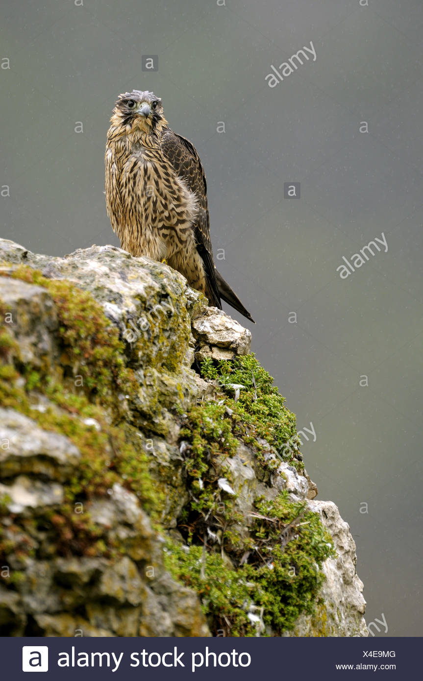 Wanderfalke (Falco Peregrinus), auf einem Felsen sitzen nass Jungvogel nach strömenden Regen, Deutschland, Baden-Württemberg Stockbild