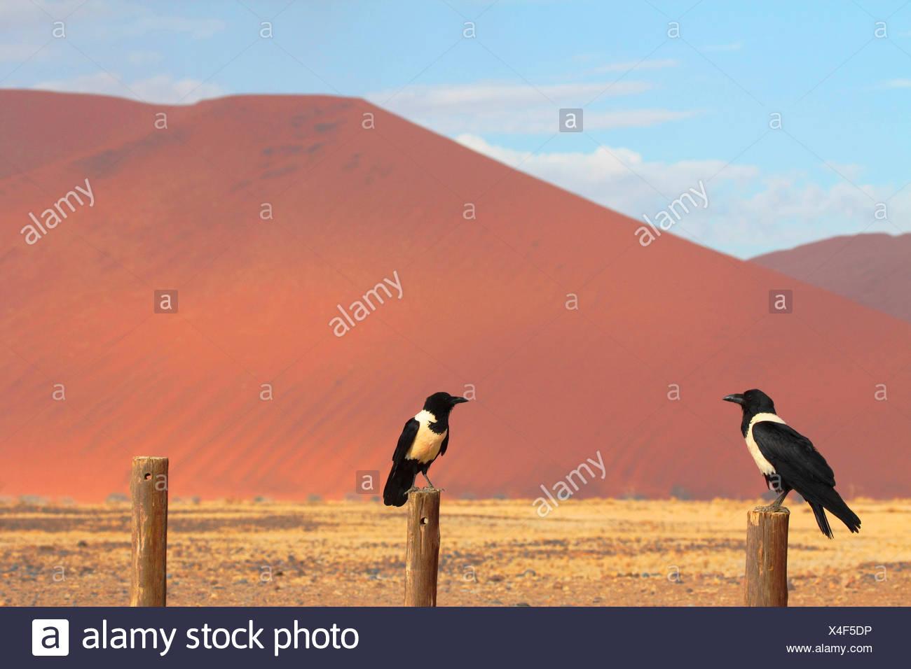 pied Crow (Corvus Albus), zwei Krähen sitzen auf Fechten Beiträge vor den Sanddünen des Namib Dessert, Namibia, Namib Naukluft National Park, Sossusvlei Stockbild