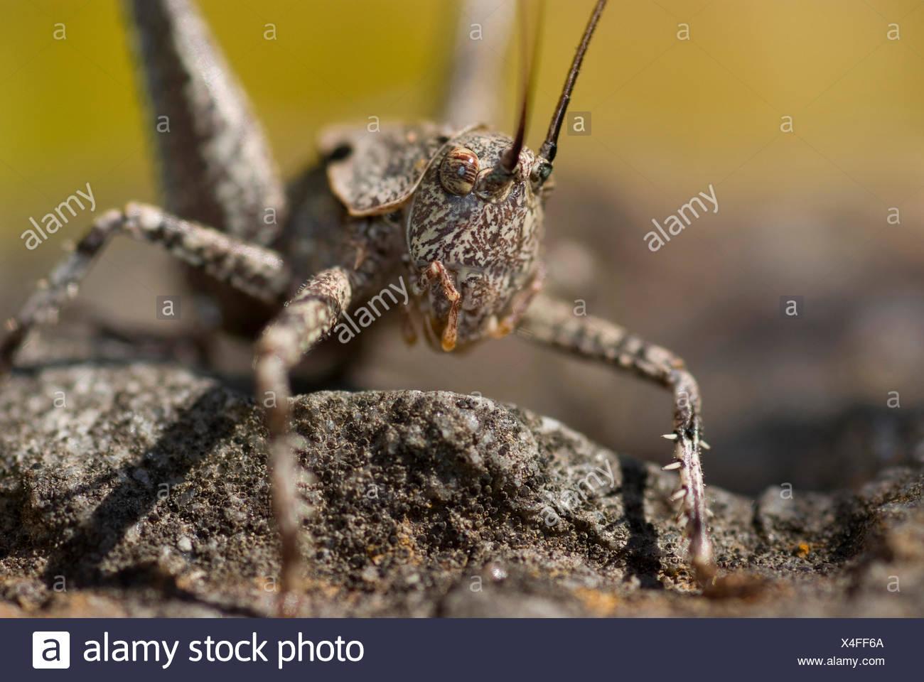Heuschrecke (Thyreonotus Corsicus), sitzt auf einem Stein, Portugal Stockbild