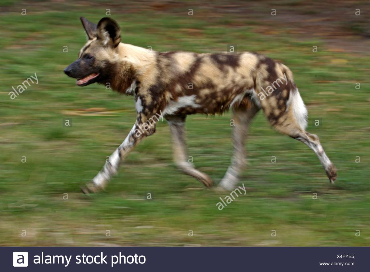 Afrikanischer jagdhund