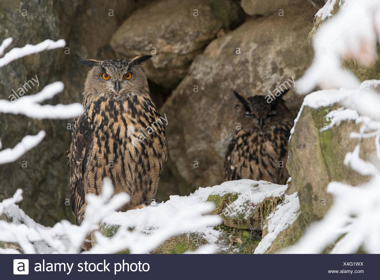 Zwei Uhu sitzen auf den Felsen hinter schneebedeckten Äste Stockbild