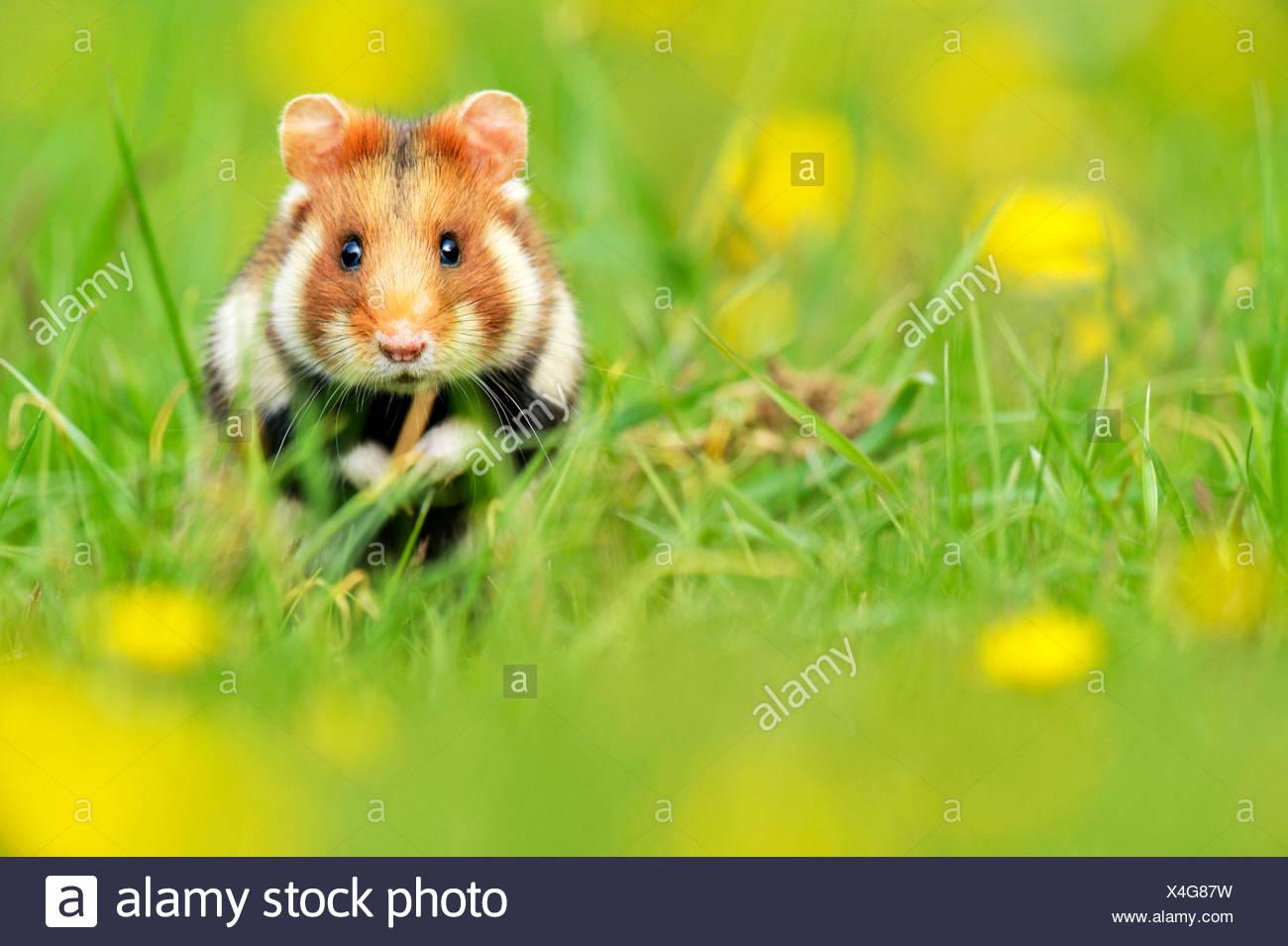 Hamster Stockfotos Und Bilder Kaufen Seite 3 Alamy