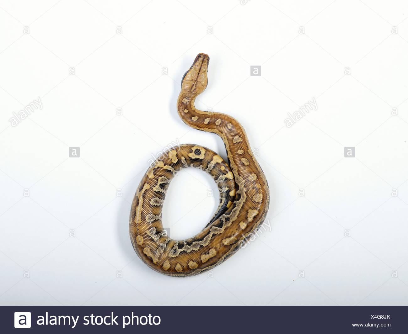 Blutpython (Python Curtus Brongersmai) Stockbild