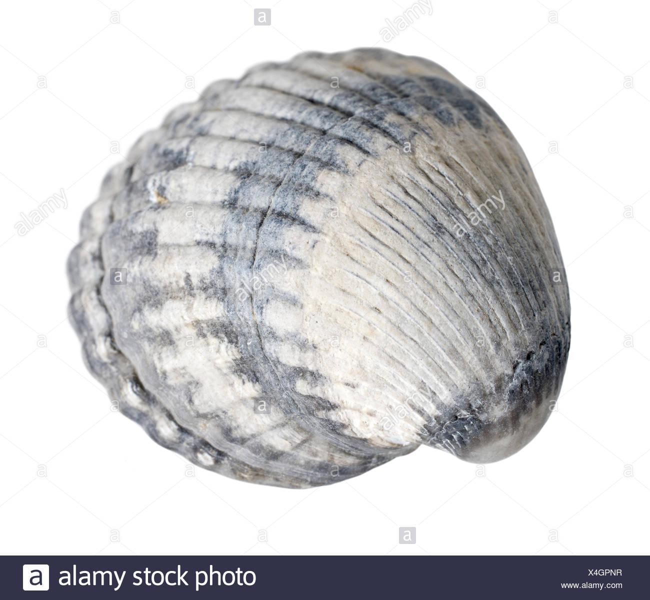 Makroaufnahme einer Muschel in weißem Rücken Stockbild