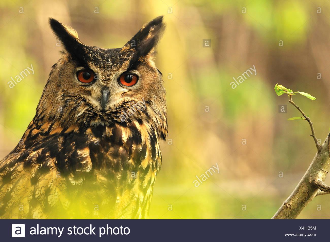 Uhu Bubo Bubo Eule Eulen Nacht Vogel der Raubvögel Greifvogel Vogel peering Frühling Raptor Ohren Pinsel Ohren Nacht hu Stockbild