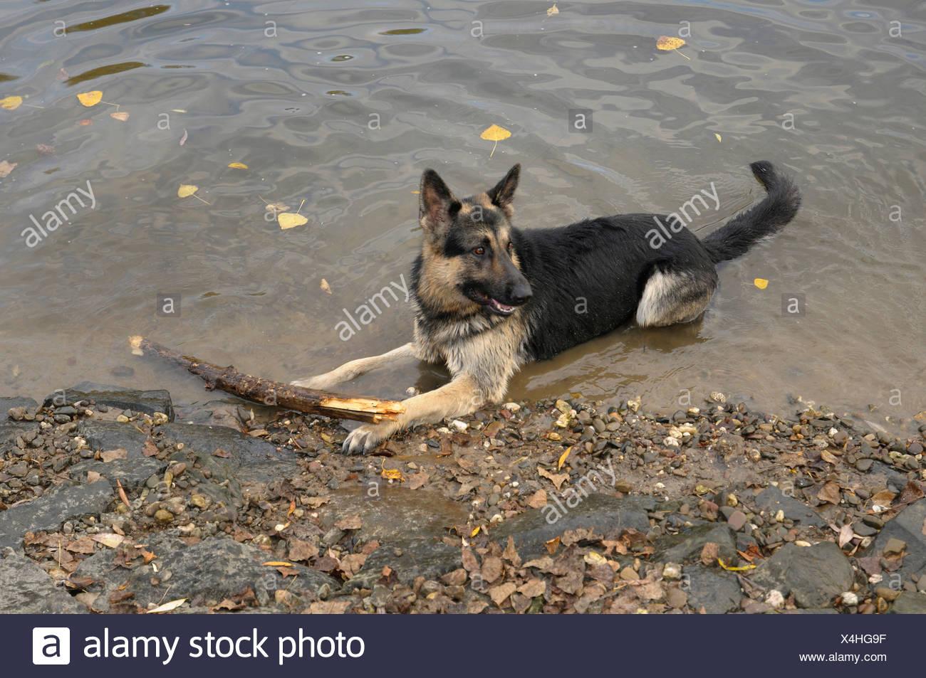 Deutscher Schäferhund mit einer großen Niederlassung am Ufer eines Flusses Stockbild