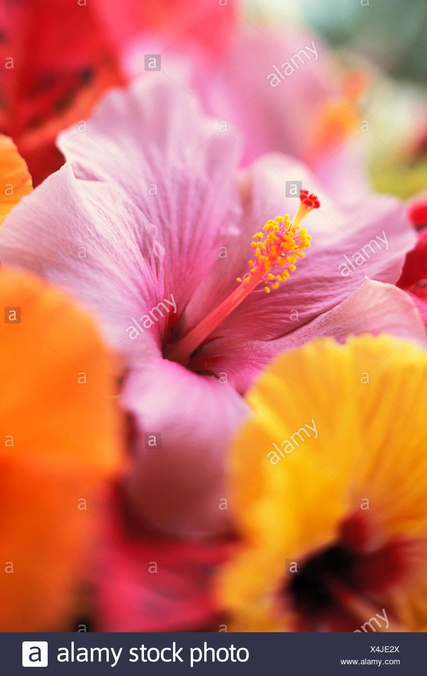 Fantastisch Hibiskus Blume Malvorlagen Bilder - Malvorlagen Von ...
