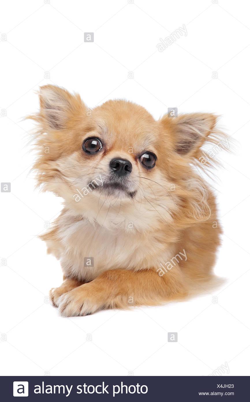 Braune Lange Haare Chihuahua Stockfotografie Alamy