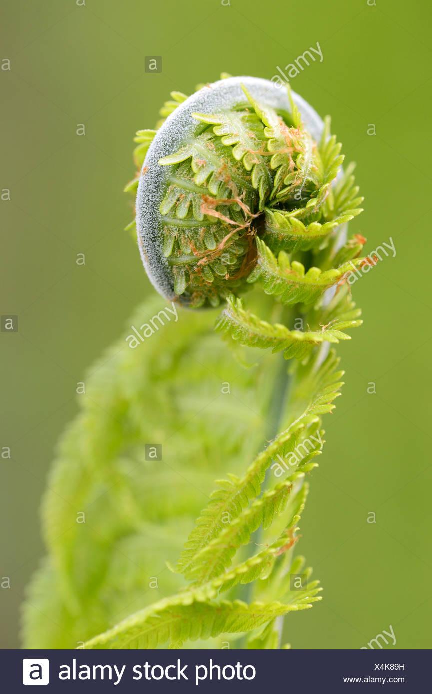 Sprout, Farn (Monilophyta), Seleger Moor Marschland, Rifferswil, Schweiz, Europa Stockbild