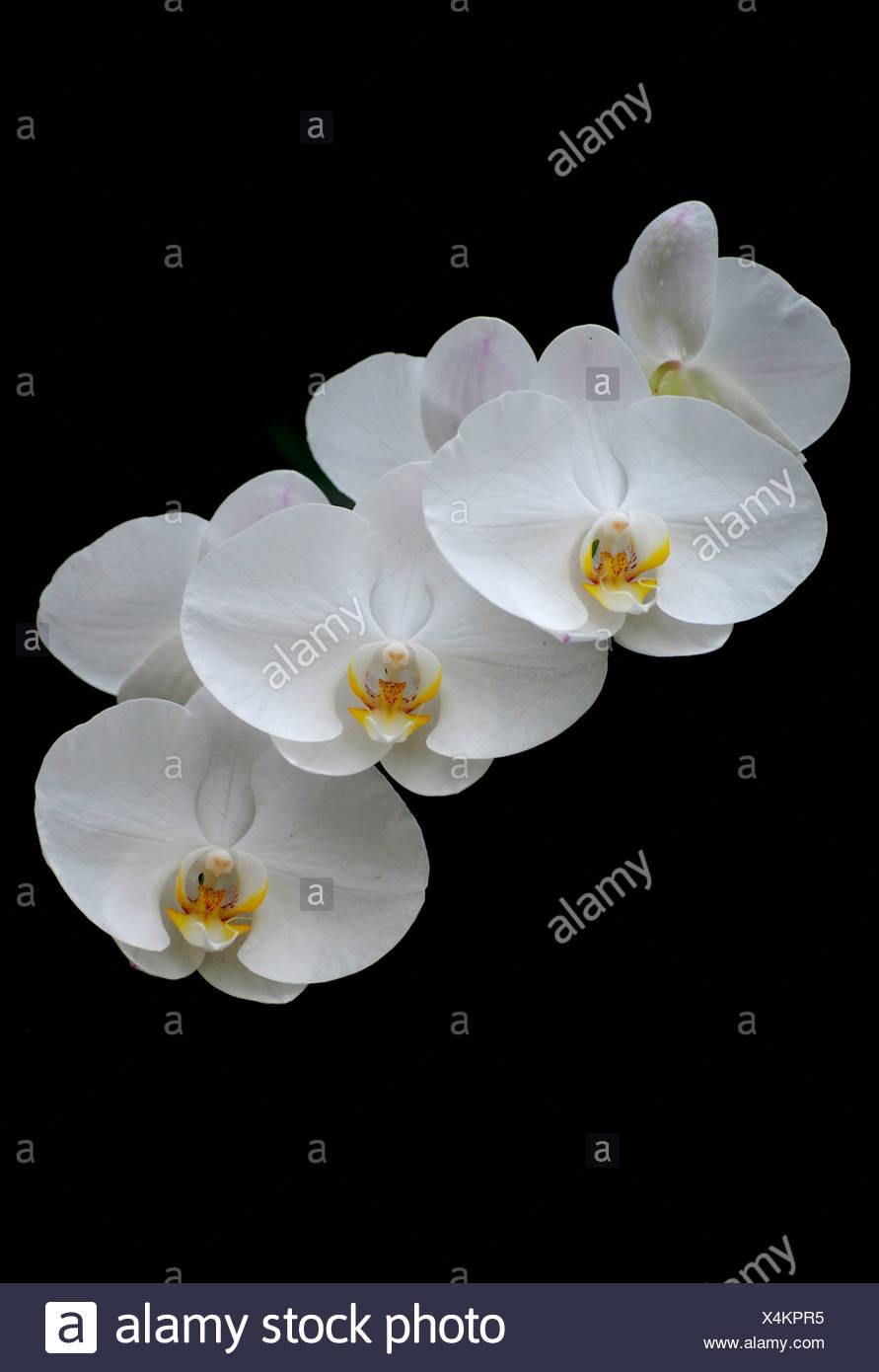 Weiße Orchidee blüht Stockbild
