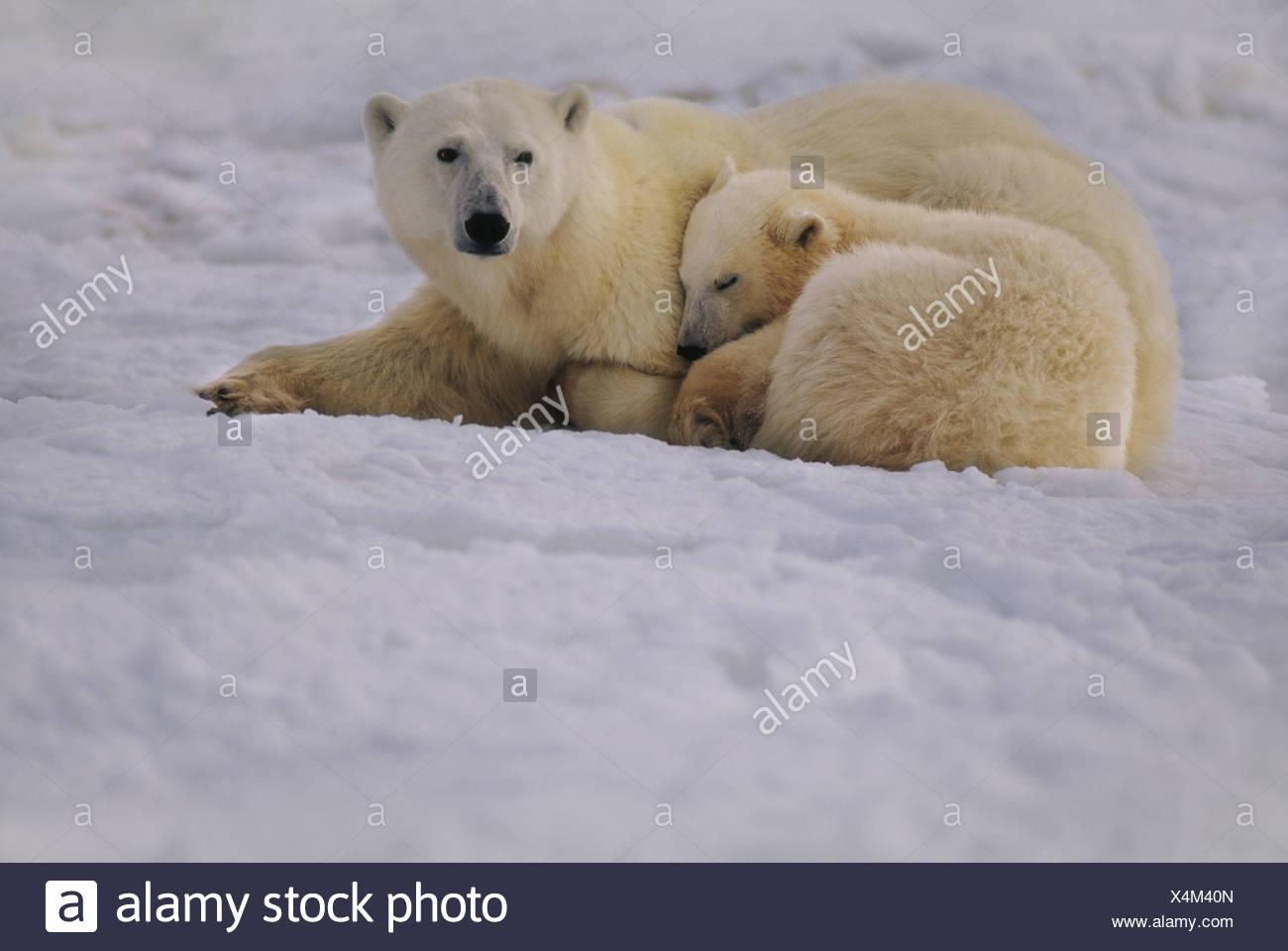 Hudson Bay Kanada Polar Bär Mutter und Jungtier ruhen Ursus maritimus Stockbild