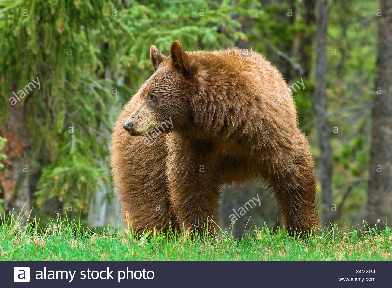 Zimtfarbenem amerikanischen Schwarzbären (Ursus Americanus) Weiden auf am Straßenrand Gräser und Horestails Rocky Mountains westlichen Albe Stockbild