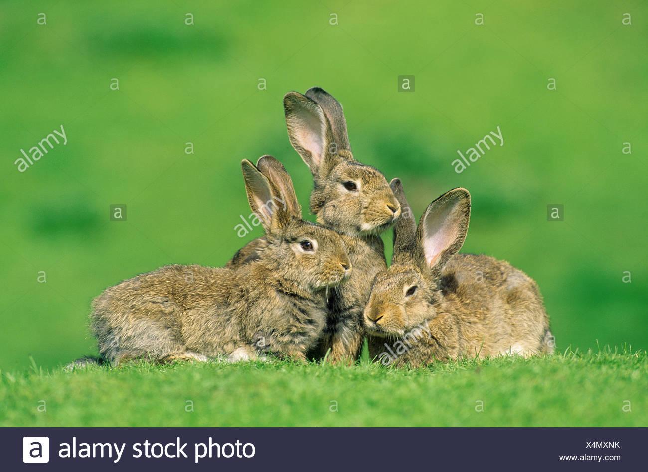 Europäische Kaninchen (Oryctolagus cuniculus). Drei Personen auf einer Wiese Stockfoto