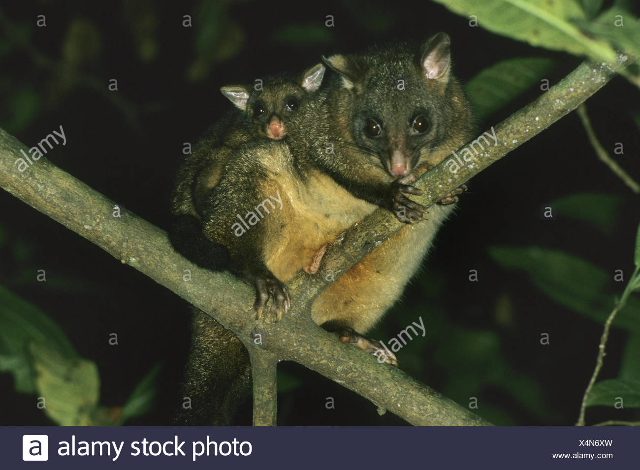 Pinsel-tailed Possum, Brushtail Possom (Trichosurus Vulpecula), Mutter mit Pick-a-Back ihr Kind Stockbild
